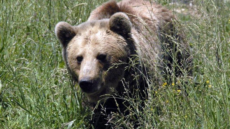 Des ours bruns affamés et tueurs sèment la terreur dans une région de Russie