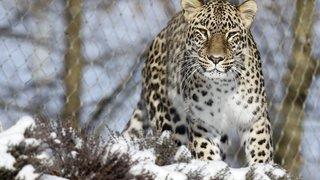 Berne: souffrant d'un croc gâté, un léopard du zoo est emmené chez le dentiste