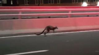 Australie: la course-poursuite épique entre la police de Sydney et un wallaby