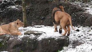 Zurich: des lions persans protégés au zoo