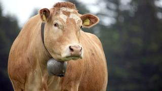Plus de 1000 vaches attendues