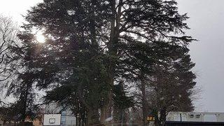 Un arbre bicentenaire sera partiellement abattu