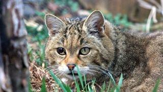 chat sauvage de L'ancienne Garenne