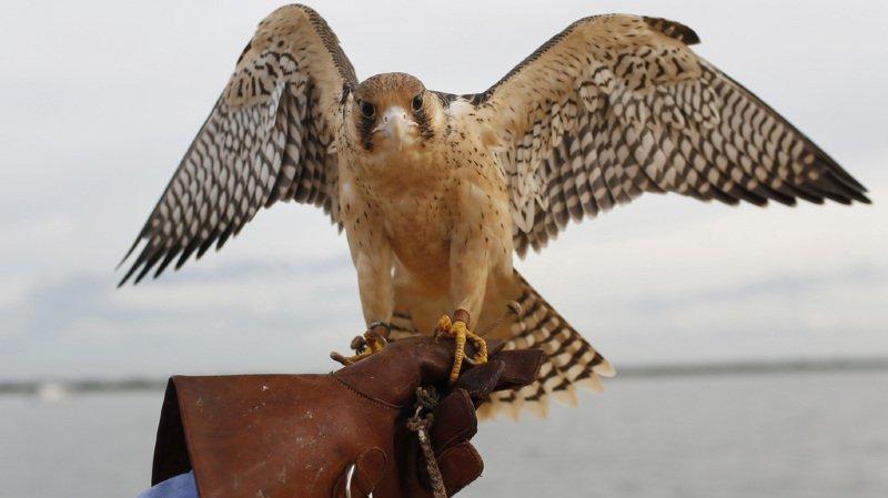 Le faucon pèlerin peut atteindre, en piqué, les 300 km/h (illustration).