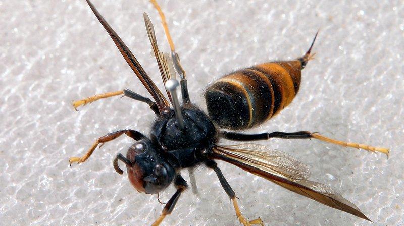 Le frelon asiatique dévoreur d'abeilles est aux portes de la Suisse