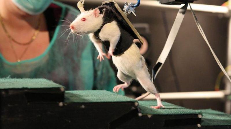 Une physiothérapie soutenue par un harnais intelligent permet aux rats de retrouver, au bout de quelques semaines, un contrôle volontaire et étendu de leurs pattes postérieures.