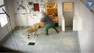 Images choc dans l'abattoir de Moudon