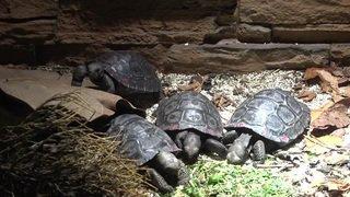 Naissance de la 101e tortue géante des Galápagos à Zurich
