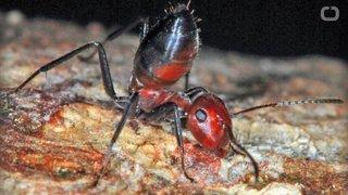 """Une fourmi kamikaze """"explosive"""" découverte à Bornéo"""