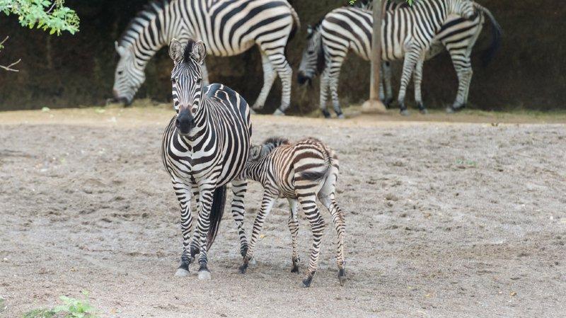 Un petit zèbre, nommé Panja, fait ses premiers pas au zoo de Bâle