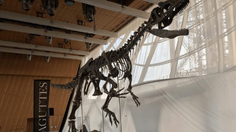 Ce théropode complet à 70%, mesure près de 9 mètres de long et 2,60 mètres de haut.