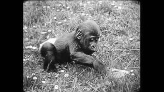 Goma, le premier gorille né dans un zoo européen, est mort à Bâle