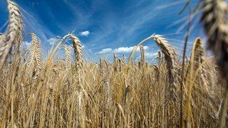 La récolte des céréales en Suisse est touchée par la sécheresse