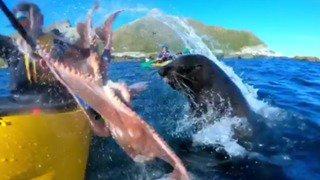 Nouvelle-Zélande: une otarie gifle un kayakiste avec un poulpe