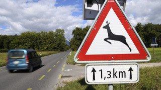 Attention au gibier sur les routes! Comment se comporter et que faire en cas de collision?