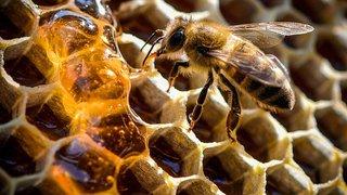 Récolte 2018: une moyenne de 23,2 kg de miel par colonie