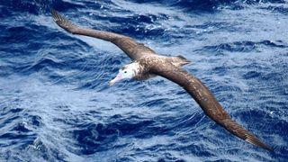 Espèce rare d'albatrosmenacée par des souris géantes
