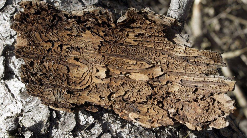 Le bostryche creuse des galeries entre l'écorce et le bois.
