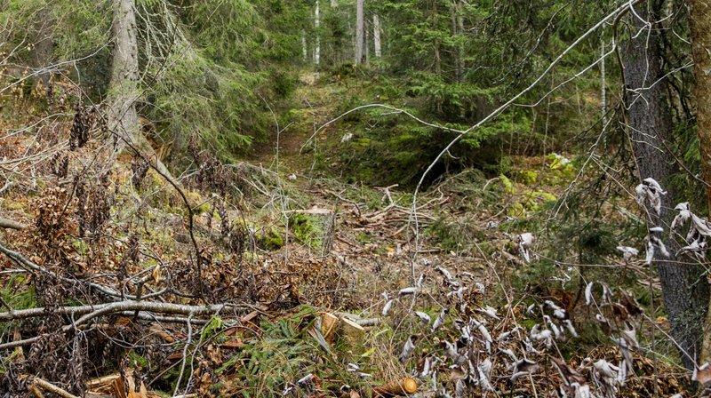 Question du jour: pourquoi y a-t-il du «cheni» dans nos forêts?