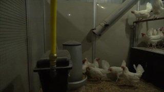 Zollikofen (BE): nouveau bâtiment de recherche pour le bonheur des poules