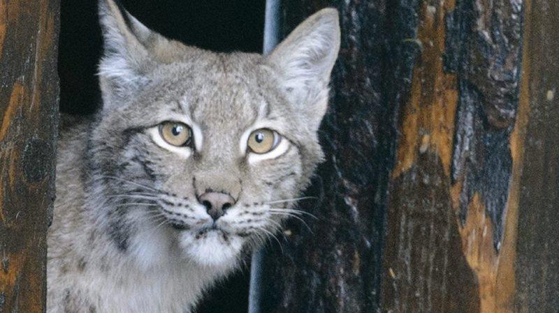 Le lynx a pu survire grâce aux carcasses déposées pour lui par les garde-faune (illustration)