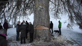 Grisons: le plus grand épicéa de Suisse, le Panera à Luven, a été abattu