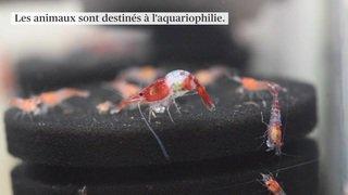 Berne: des crevettes multicolores pour les aquariums