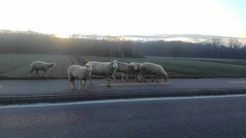 A Allaman, les moutons se sont fait la belle ce matin tôt puis sont sagement rentrés.