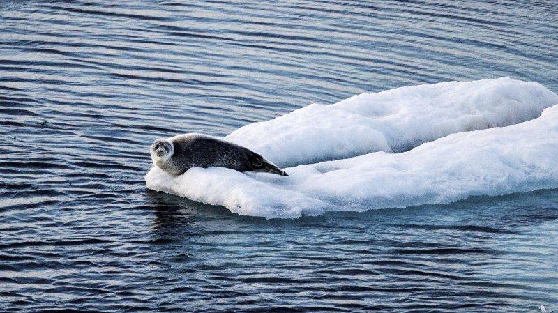 Réchauffement climatique: les phoques et les baleines arctiques changent leurs habitudes alimentaires