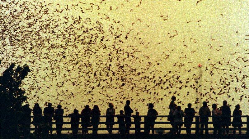 Etats-Unis: pour les 80 ans de «Batman», 1,5million de chauves-souris vivantes vont s'envoler à Austin
