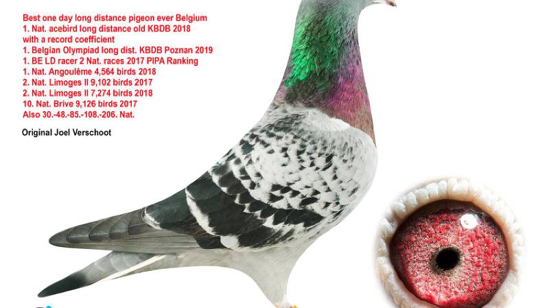 Un pigeon vendu aux enchères pour plus d'1 million de francs