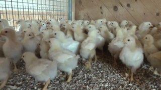 Protection des animaux: le Conseil national soutient la fin du broyage des poussins vivants