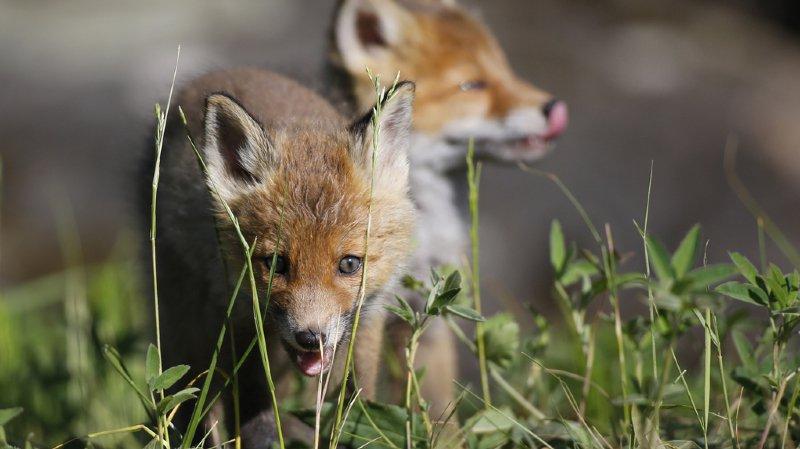 Le printemps est synonyme de mises bas des mammifères: tenez vos chiens en laisse!