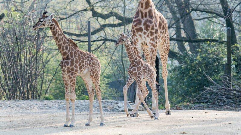 Une demi-heure à peine après être venu au monde, le girafeau se tenait déjà sur ses longues pattes.