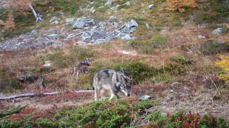 La meute de Morobbia comptait six loups en 2018. (Archives)