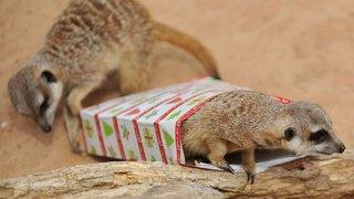 Australie: des suricates d'un zoo célèbrent leur premier anniversaire