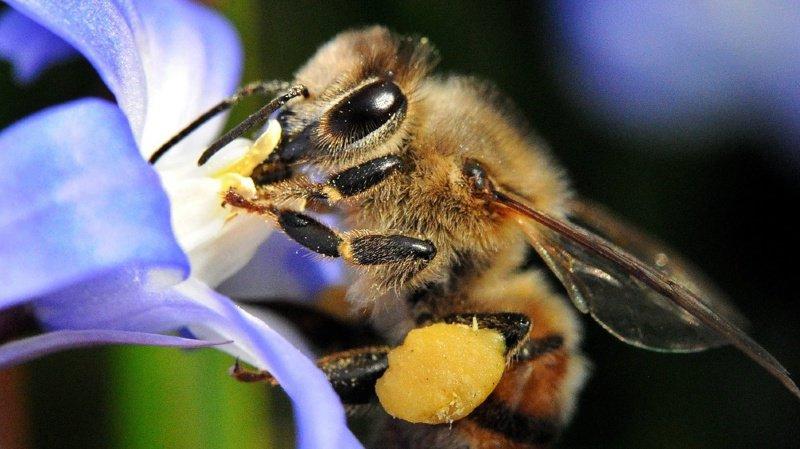 L'abeille n'est pas le seul insecte menacé de disparition, mais elle est devenue le symbole des dangers planant sur la biodiversité.