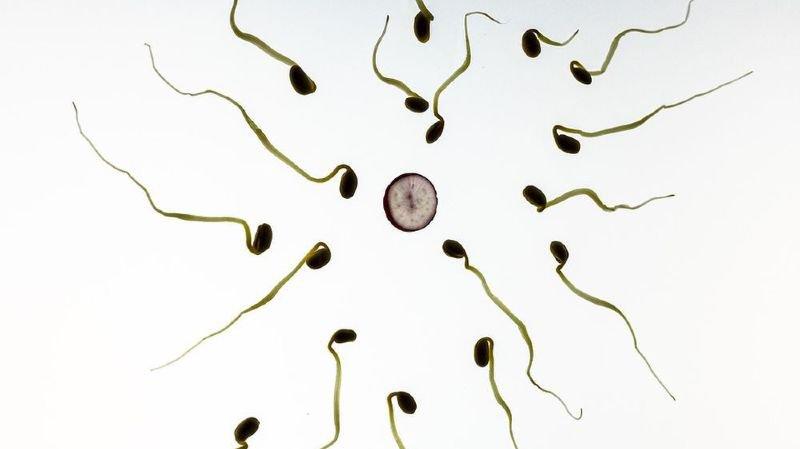 Non seulement la qualité du sperme des Suisses est faible, mais celle-ci semble être liée à une augmentation du cancer des testicules.