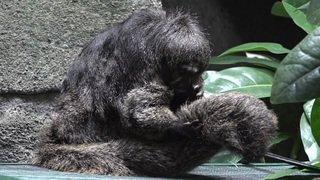 Deux singes Sakis s'installent dans la forêt tropicale d'Aquatis