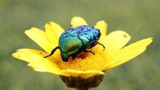 Le mystère de la diversité des coléoptères végétariens enfin résolu