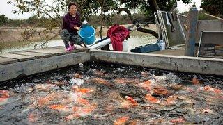 La Chine, géant du poisson