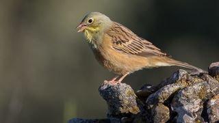 Biodiversité: déclin massif des effectifs du Bruant ortolan, chassé illégalement en France