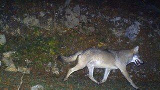Aperçus à Le Vaud, des loups ont pris leurs quartiers entre Dôle et Marchairuz