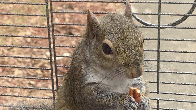 """L'homme voulait s'assurer que son """"écureuil d'attaque"""" reste suffisamment agressif. (Illustration)"""