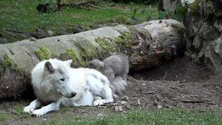 Un petit loup arctique a vu le jour au Zoo de Servion