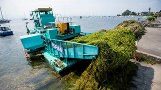 Ils passent leurs journées à vider le Léman de ses algues invasives