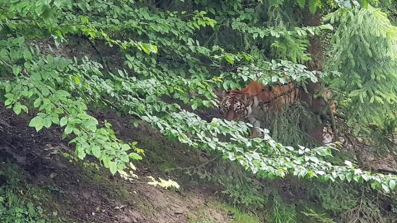 Pour l'heure, la tigresse, qui reste encore physiquement séparée de son partenaire, se montre peu à l'extérieur.