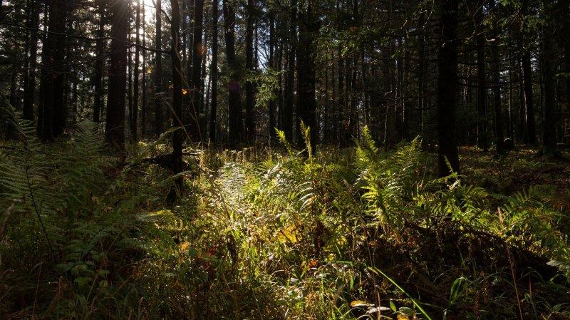 Les forêts vaudoises souffrent de la sécheresse et des parasites