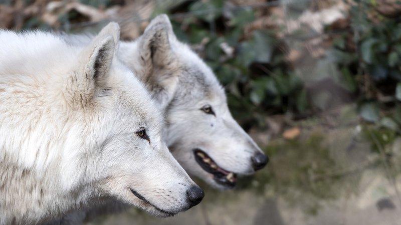 César et Cléopâtre avaient 14 ans. Un âge avancé pour des loups (archives).