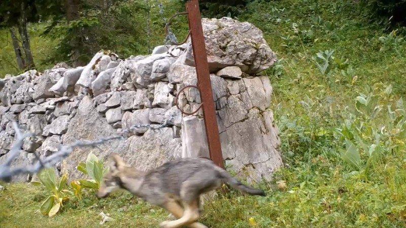 Après le loup, les loups! Une meute gambade dans la région